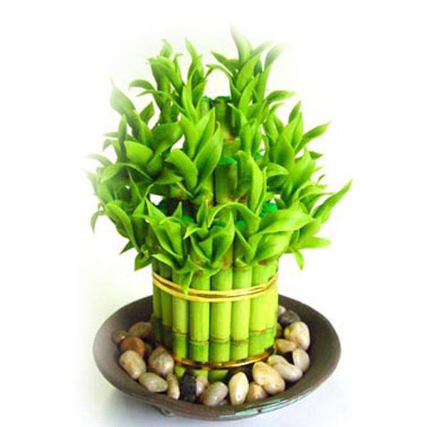富贵竹怎么水养