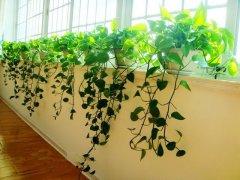 绿萝叶子发黄怎么办 绿萝的养殖方法和注意事项